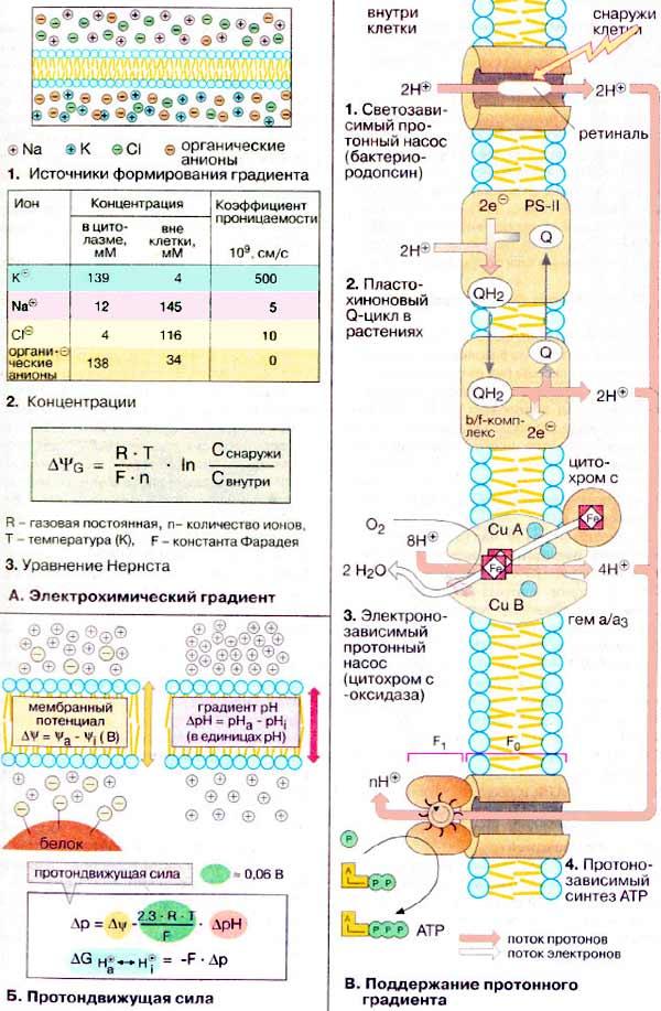Насос протонный