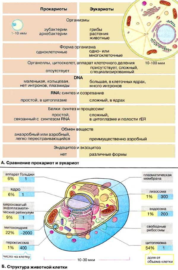 А. Сравнение прокариот и
