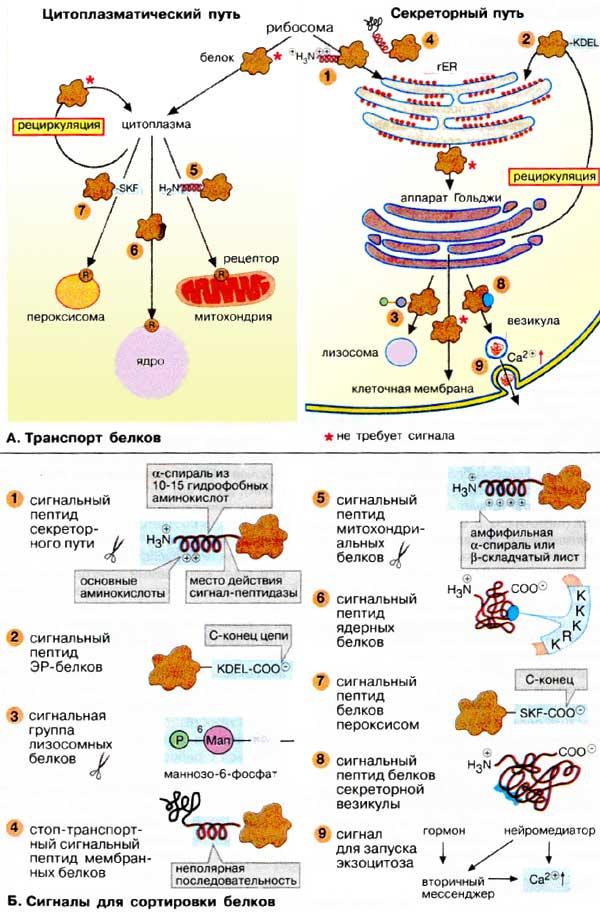 А. Транспорт белков. Биосинтез