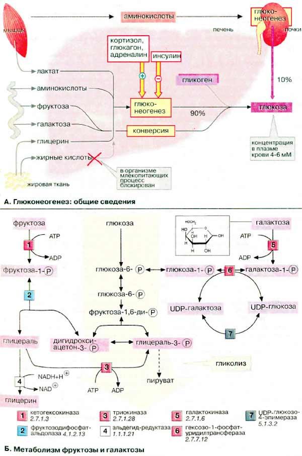 Глюкоза, наряду с жирными