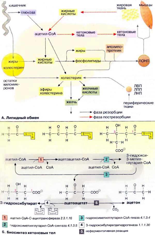 холестерин липопротеинов высокой плотности лпвп высокий