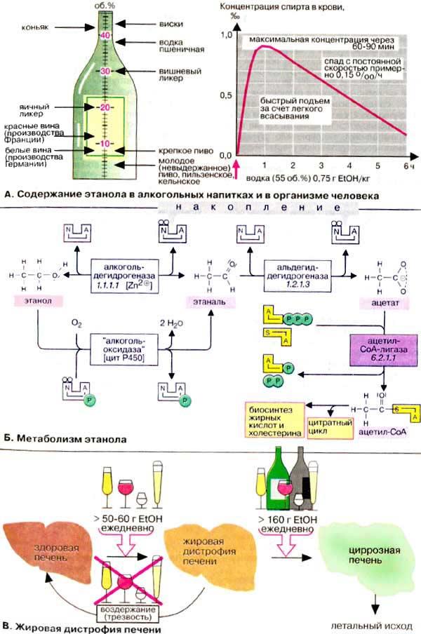 Биохимические механизмы алкоголизма волошин лечение алкоголизма