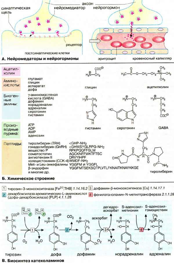 Пептиды как нейромедиаторы как можно продавать стероиды