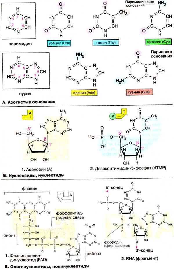 Конденсированные гетероциклические соединения нуклеиовые основания нуклеозиды нуклеотиды рнк и д