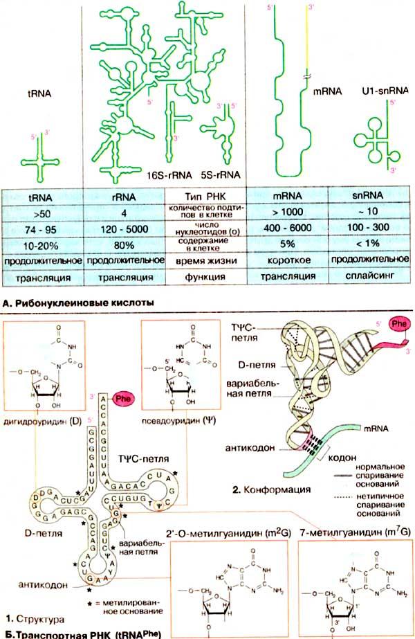 Рнк доклад по химии 6986